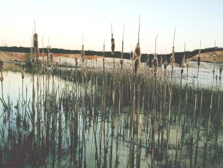 canne: Tra canne nel lago Archivio Fotografico