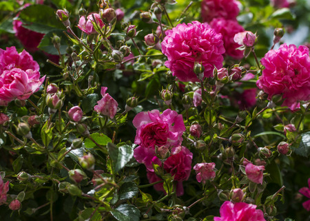 vibrant cottage: Pink climbing roses Stock Photo