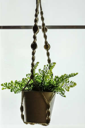 Plant in the vass hanging on white background