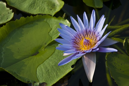 lotus in the swamp photo