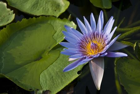 lotus in the swamp Stock Photo - 9277885