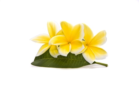 frangipani flowers Stock Photo - 10236769