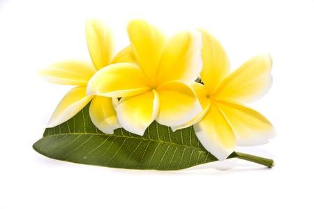 plumeria on a white background: frangipani flowers Stock Photo