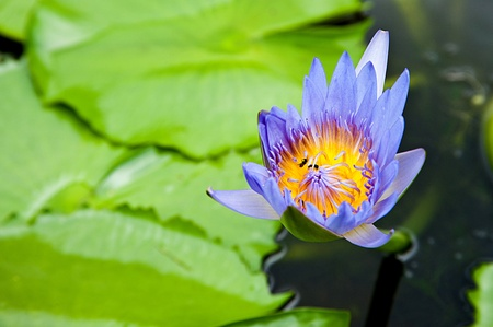 lotus on swamp photo