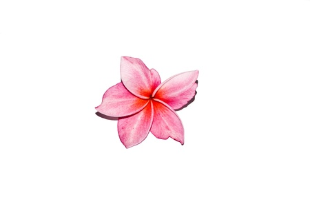 frangipani on white backgrounds photo