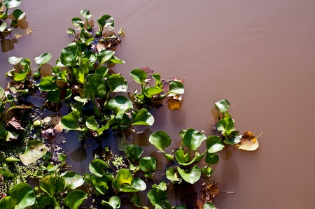 water hyacinth in river photo