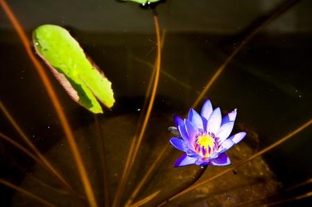 lotus on swamp photo