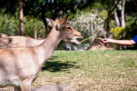 hand feeding food to deer in zoo photo