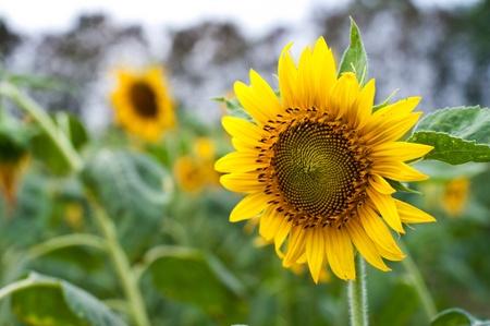 sun flower in garden Stock Photo - 13019263