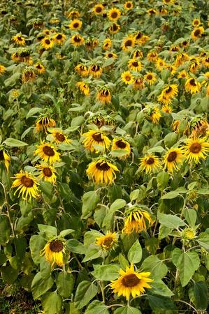 sun flower in garden photo