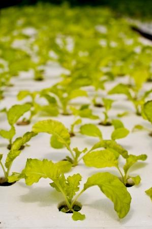 vegetables in garden photo