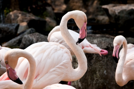 flamingoes photo