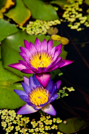 lotus in swamp photo