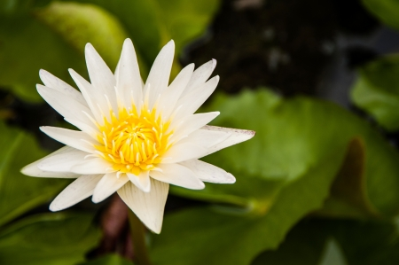 water lily in swamp photo