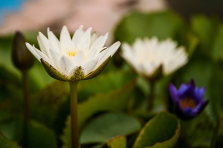 water lily in swamp Stock Photo - 17099134