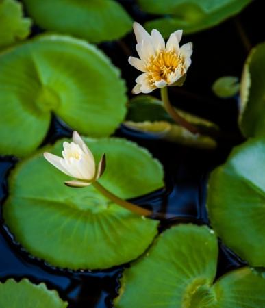lotus in swamp
