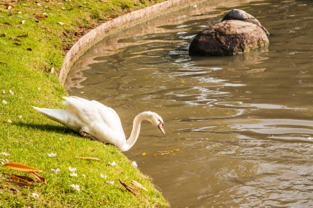white swan go to the river photo