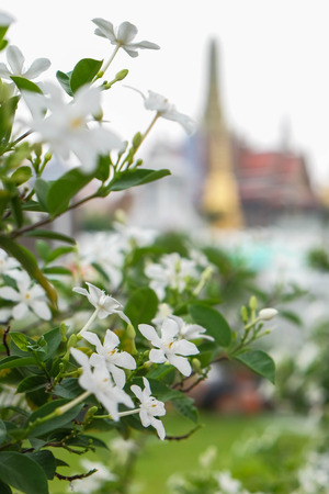 creeping oxalis: Flower