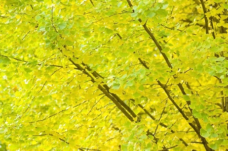 Ginkgo Biloba photo