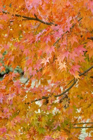 Colored red maple photo