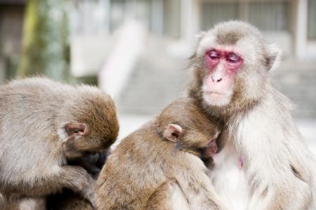 breast milk: Monkey Family, Small monkey drinking breast milk