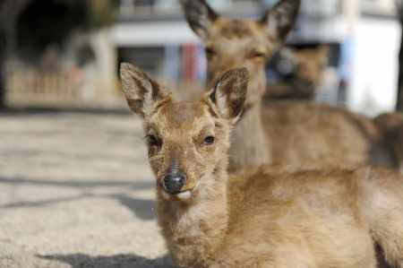 hiroshima: Deer in Miyajima, Hiroshima Prefecture, japan