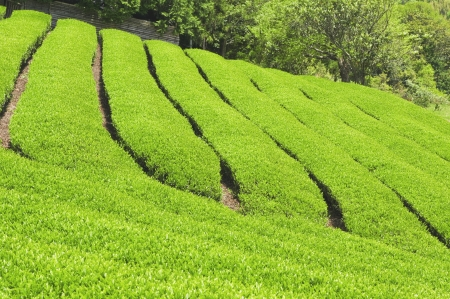 Fresh tea leaves are grown in the plantations  photo