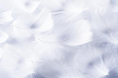 pluma blanca: Pluma blanca de ave para la imagen de fondo Foto de archivo