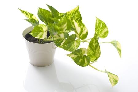 potted pothos of houseplant on white background