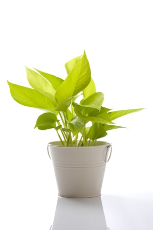 fresh pothos of houseplant on white background