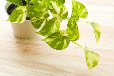 fresh pothos of houseplant on wooden floor Stok Fotoğraf