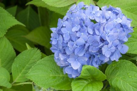 Close-up of Hydrangea flowers photo