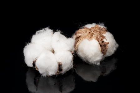 cotton ball: cotton flower on black background