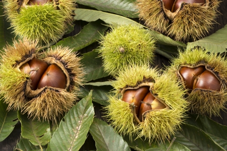 marron: chestnuts with husk on many leaves