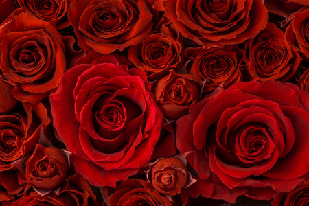 Red roses background, close-up