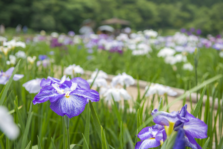 gregarious: Japanese iris Stock Photo