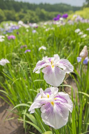 gregarious: Iris
