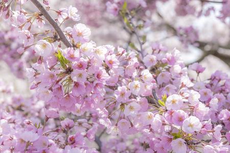 桜千光寺 写真素材 - 59399164