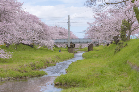 unattended: Of Tamayu River cherry trees