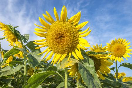 unattended: Sunflower field