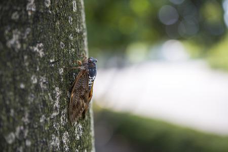 cigarra: Cigarra encaramado en el árbol Foto de archivo