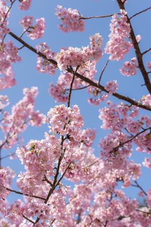 kawazu cherry blossoms Stock Photo