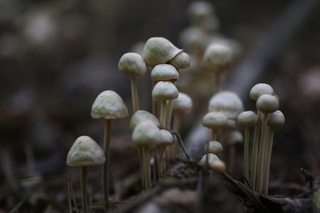 Poisonous mushrooms false honey agarics