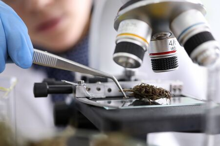 Close-up view of dry marijuana under microscope investigation. Female chemist working with tweezer. Innovation medical technologies and laboratory concept 写真素材