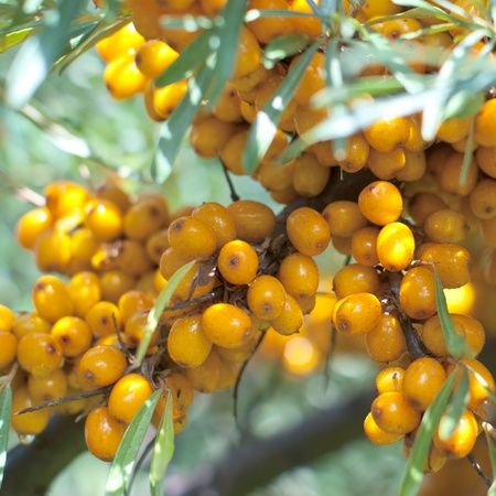 seabuckthorn: beautiful sea-buckthorn branch with berries Stock Photo
