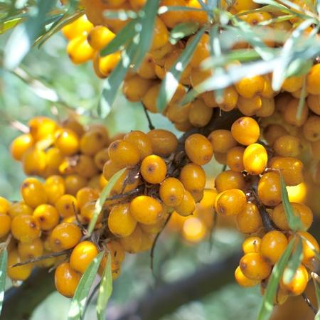argousier: belle argousier branche avec des baies