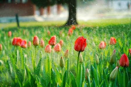 gules: Water tulip