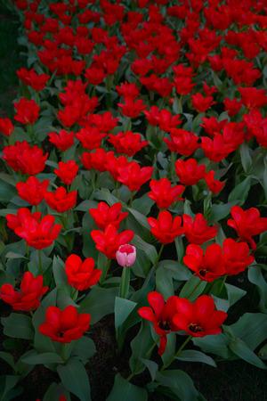 differentiation: Tulip flowers