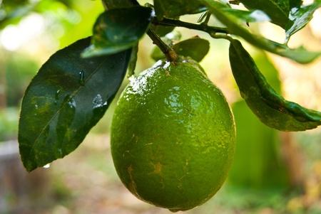 Mature lemons on tree Stock Photo - 11515554