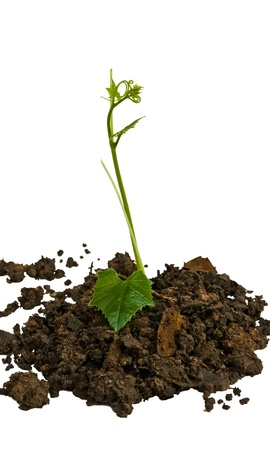 Young seedling growing in a soil Stock Photo - 11563997